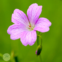 Geranium against a green background