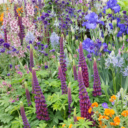 Lupins Spring